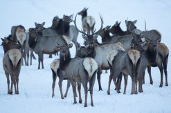 Elk Herd on the Refuge